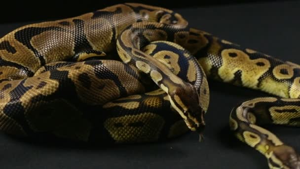 Videó a kígyók - két mászó Python