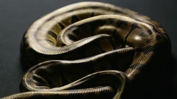 Árnyék királyi python kígyóbőr minta