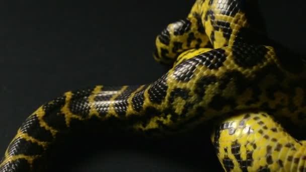 Anakonda žlutá v knot