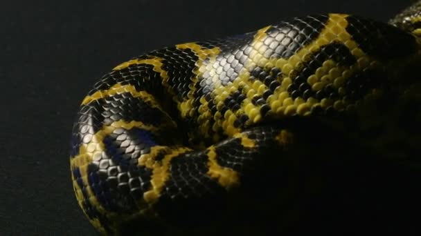Csúszó csomót sárga anaconda