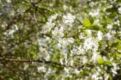 Kvetoucí třešňová větev na slunci. Bílé květiny. Kvetoucí strom. slunečný jarní den.
