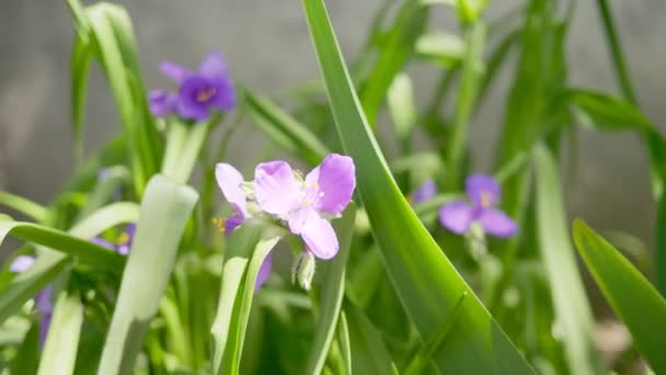 Tradescantia v zahradě. Vítr šustí purpurovými květy za slunečného dne.