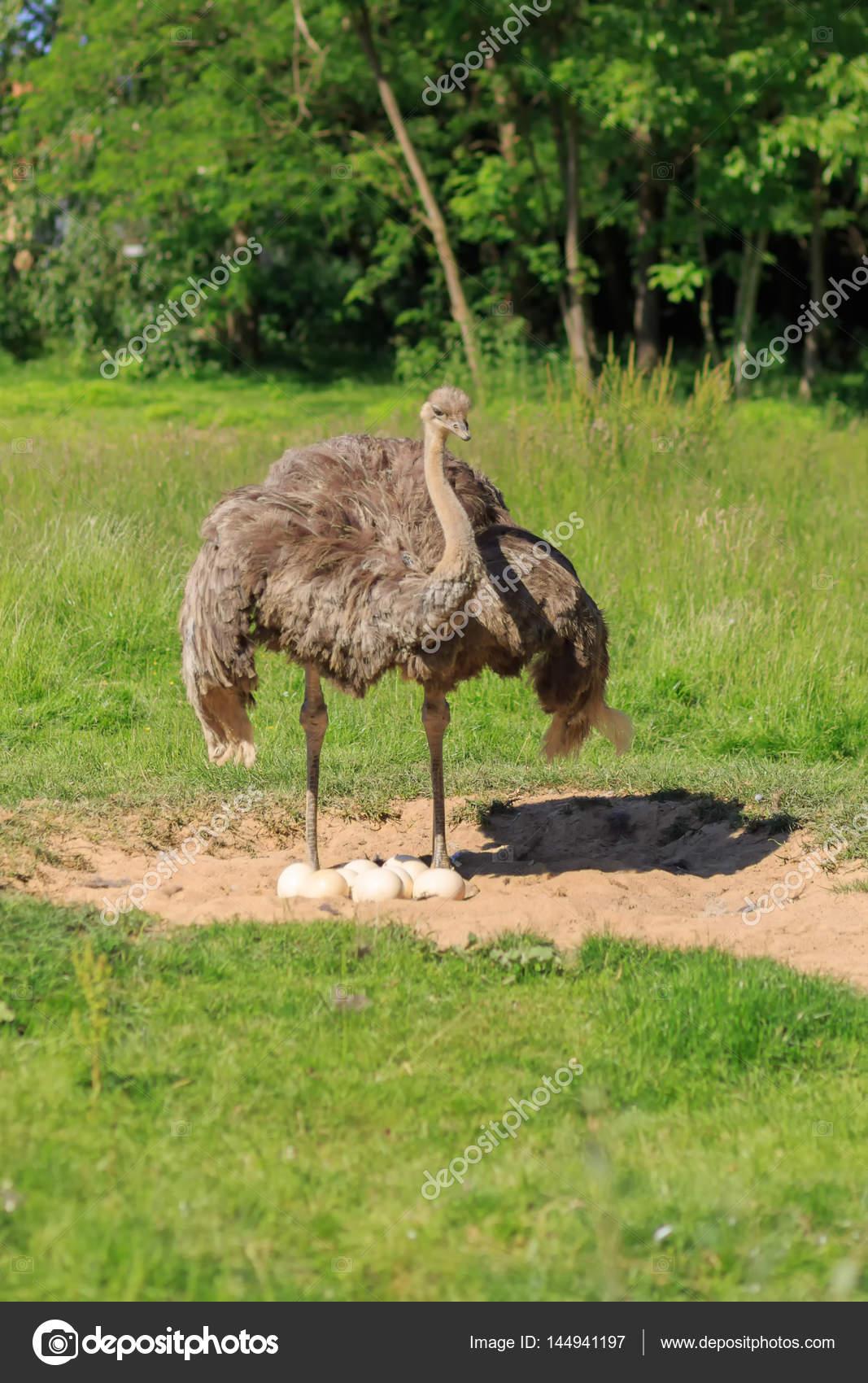 μεγάλο πουλί ελε