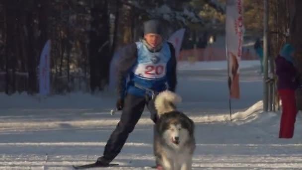 Berdsk, Sibiř / Rusko, leden / 12 / 2020 každoroční psí sáňkování. Husky. Ten pes táhne lyžaře..