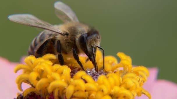 Včela na kytce jí medovou návnadu.