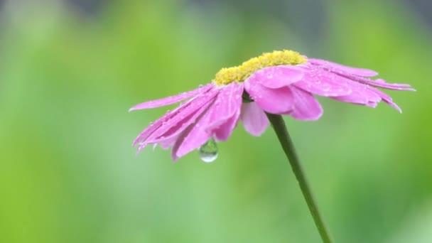 Déšť. Dešťové kapky padají na heřmánek