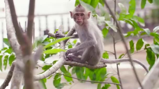 Rhesus Macaque Monkey Sitting on the Tree, Angry Talking and Jumping Away