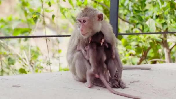 Adult Monkey Sitting on Walkway with Monkey Cubs, two Little Baby Monkeys in Zoo