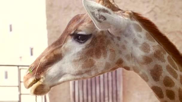 Close Up of Giraffe Žirafa žvýká větev se zelenou trávou a otočit hlavu k fotoaparátu