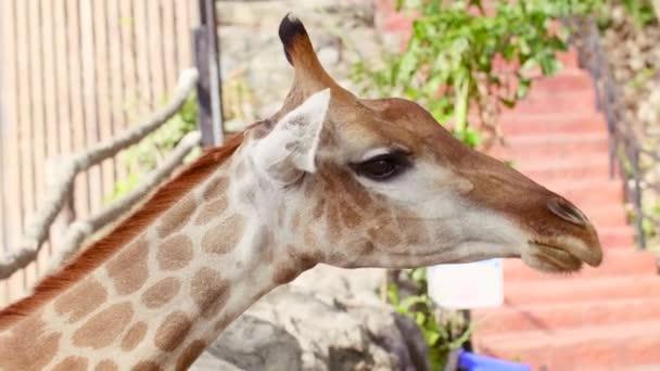 Detailní záběr žirafy stojící a jíst zelené ovoce z brunch od člověka Ruka