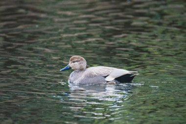 A picture of a Gadwall swimming in the pond.    Vancouver  BC  Canada