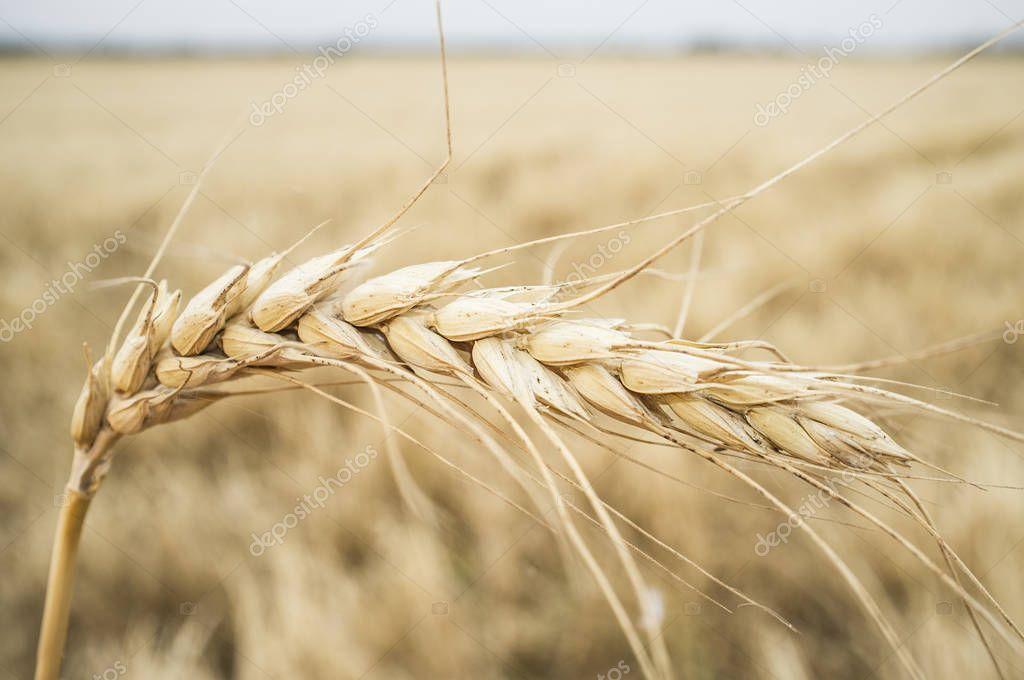 One grain ear over wheat grain field