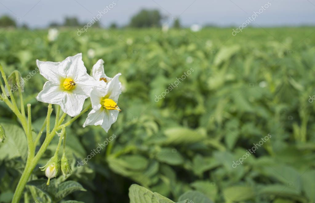 Blooming potato field with white flowers detail