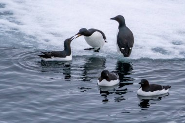 Group of Brunnich's guillemots on the ice and swimming