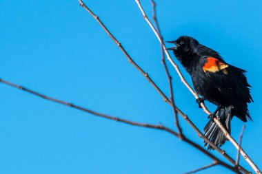 Male Red-winged Black Bird perched on a tree branch singing