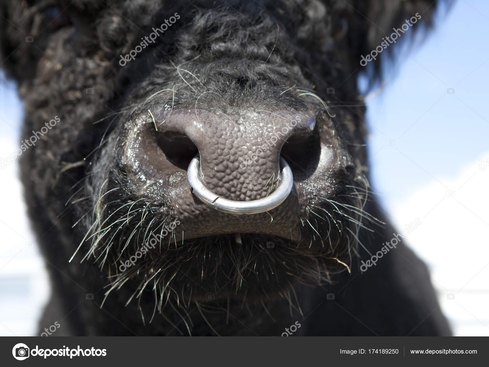 Bull With Nose Ring Stock Photo Purplequeue 174189250