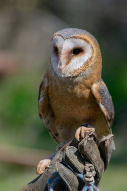 Close up portrait of barn owl with unfocused background during day. Copy space. Wild predator birds concept.