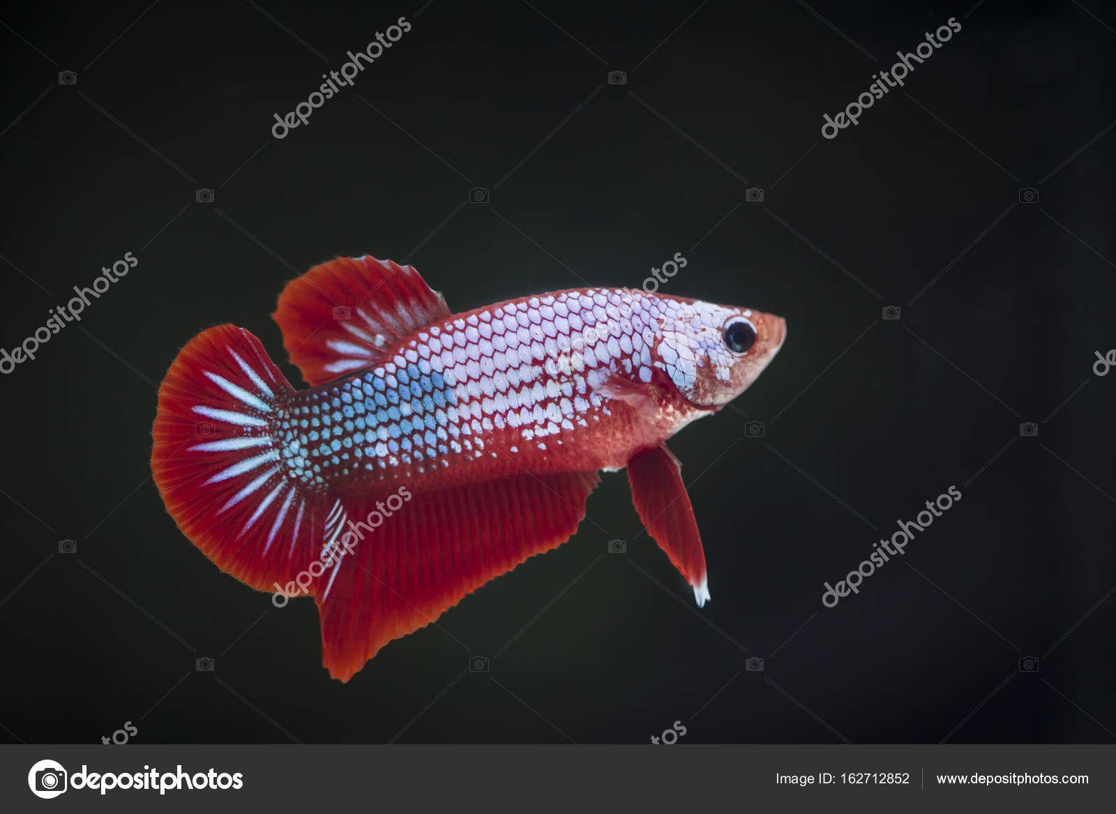 Fighting fish (Betta splendens) Fish with a beautiful — Stock Photo ...