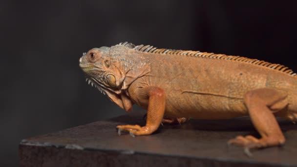 Chameleon ve tmě. Krásný had