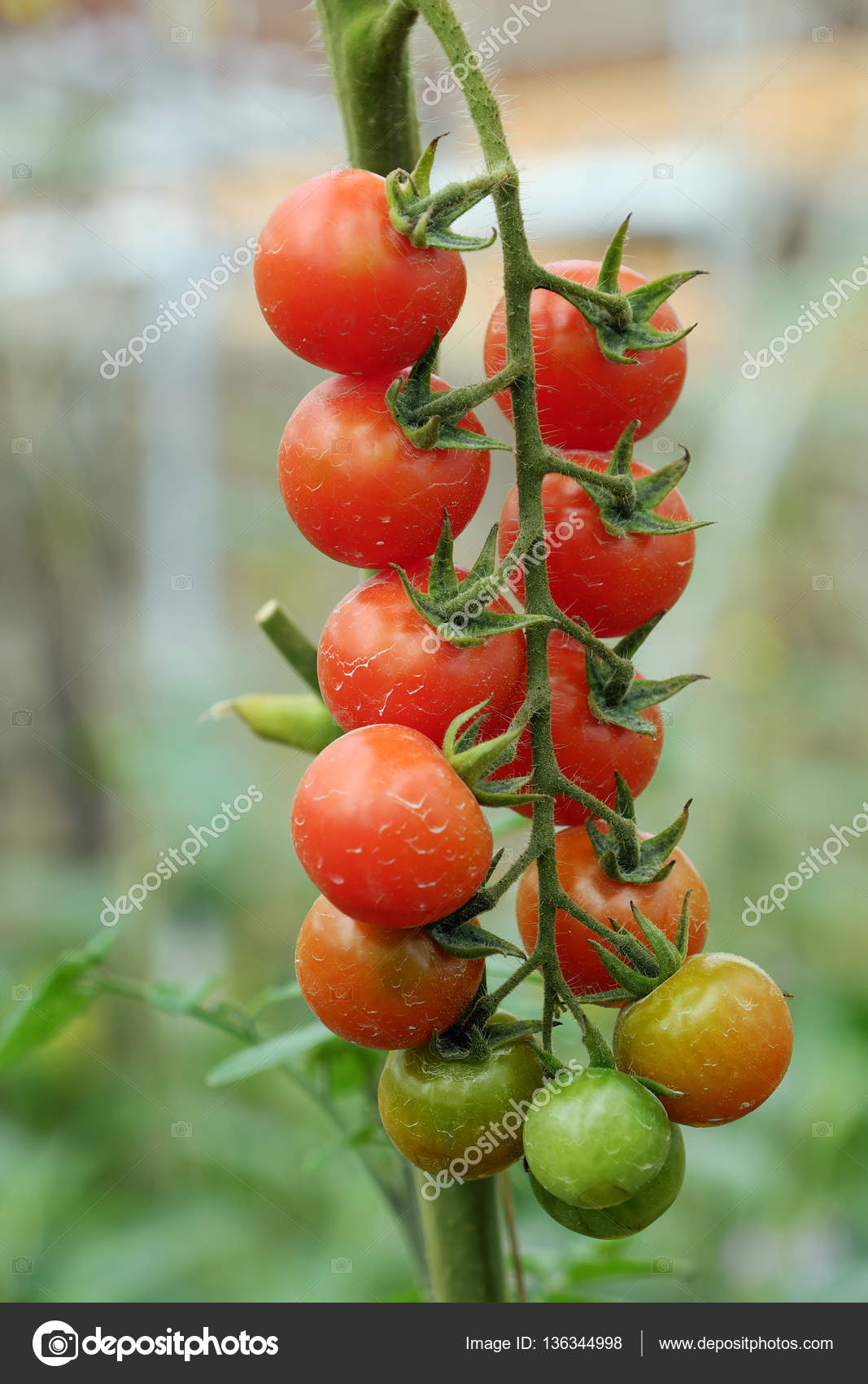 products peach wm seeds tomato garden seed