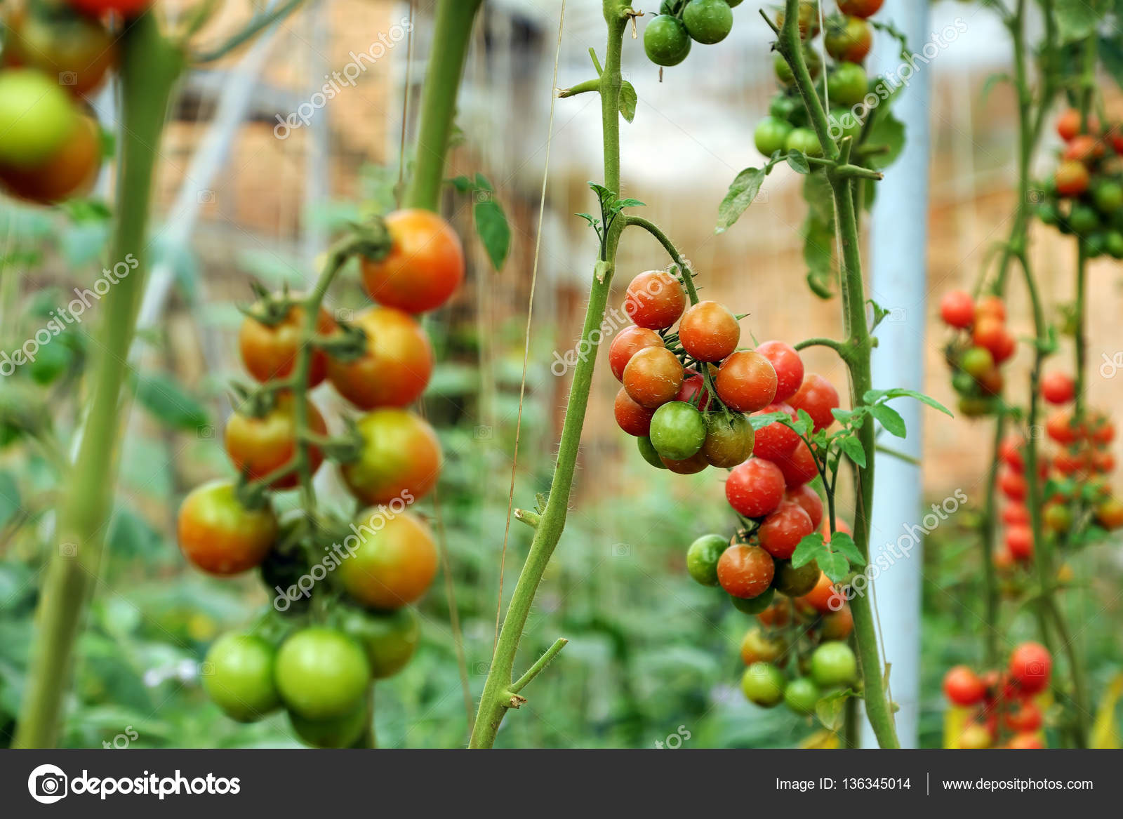 horizontal orientation kitchen of tomato vegetable open photo growing in plant garden stock young image ground