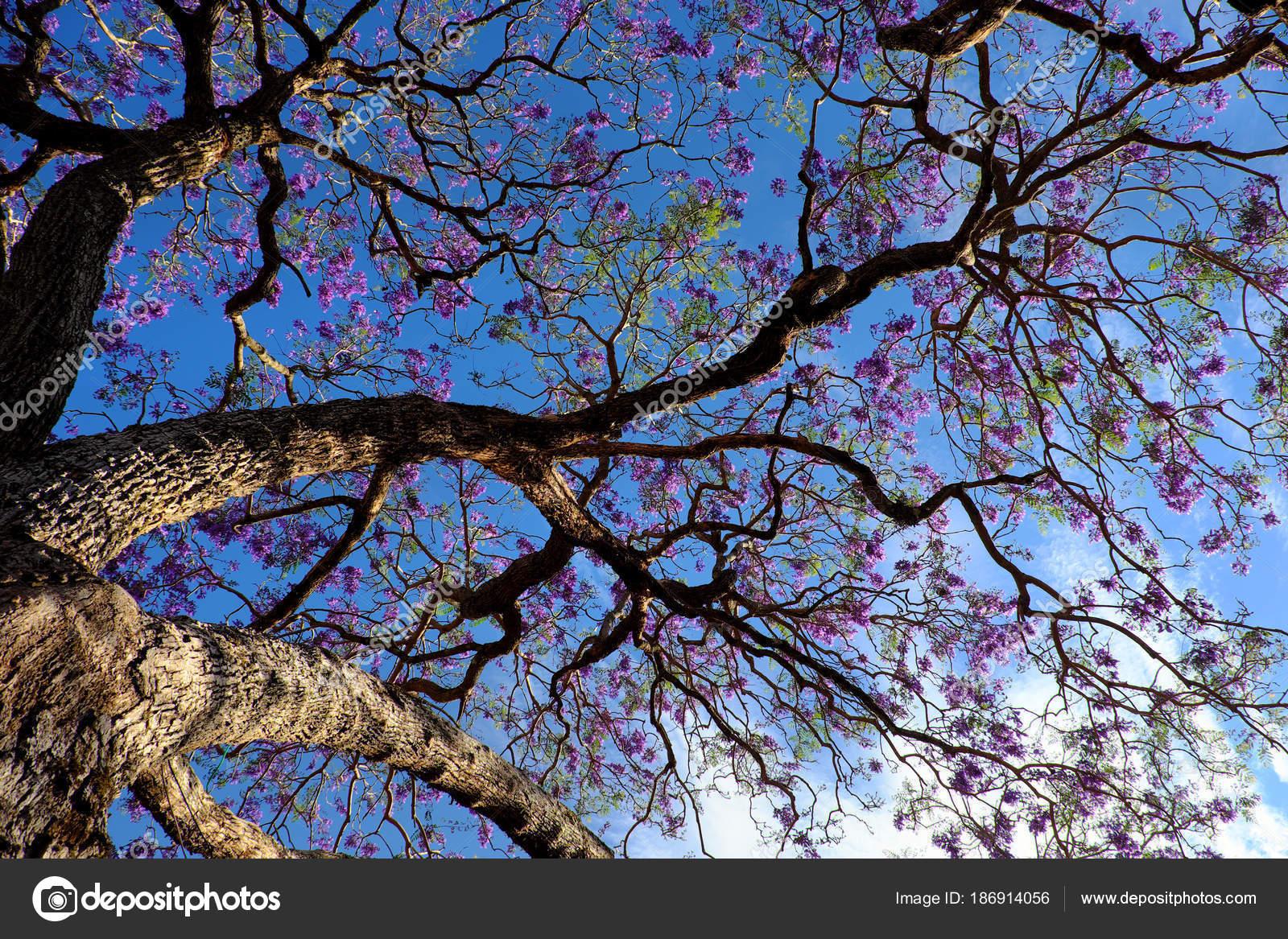 fleur violet impression sur arbre flamboyant — photographie