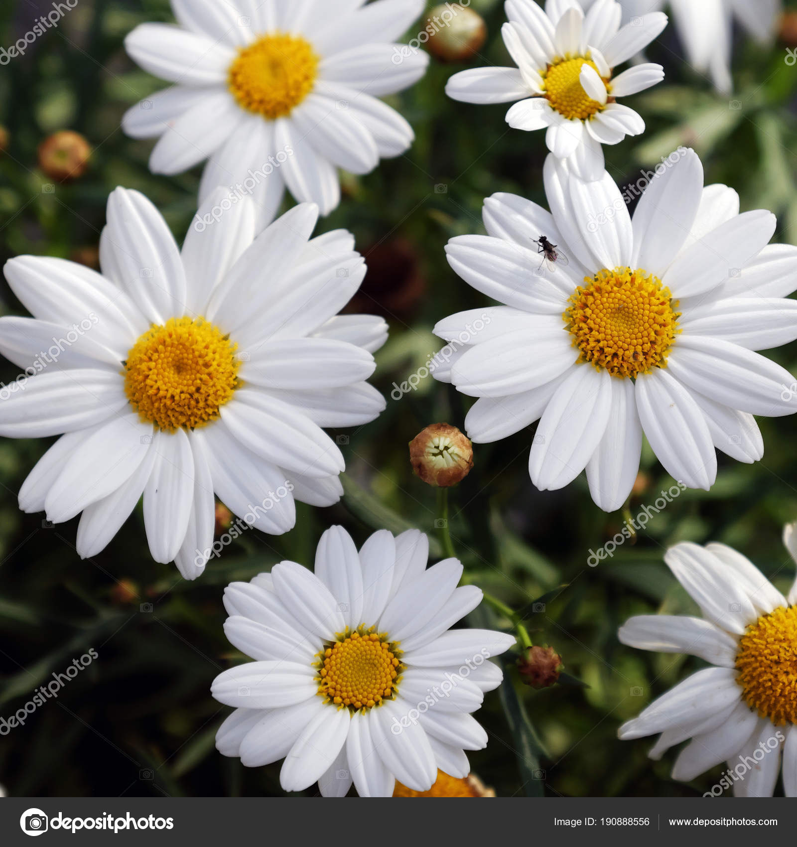 Fleur Marguerite Marguerite Blanc Pur Photographie Xuanhuongho