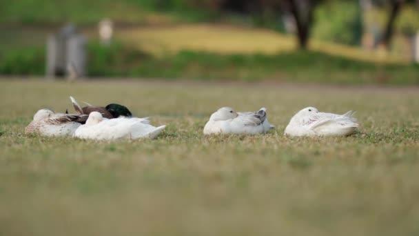 Kachna spí na trávě v parku