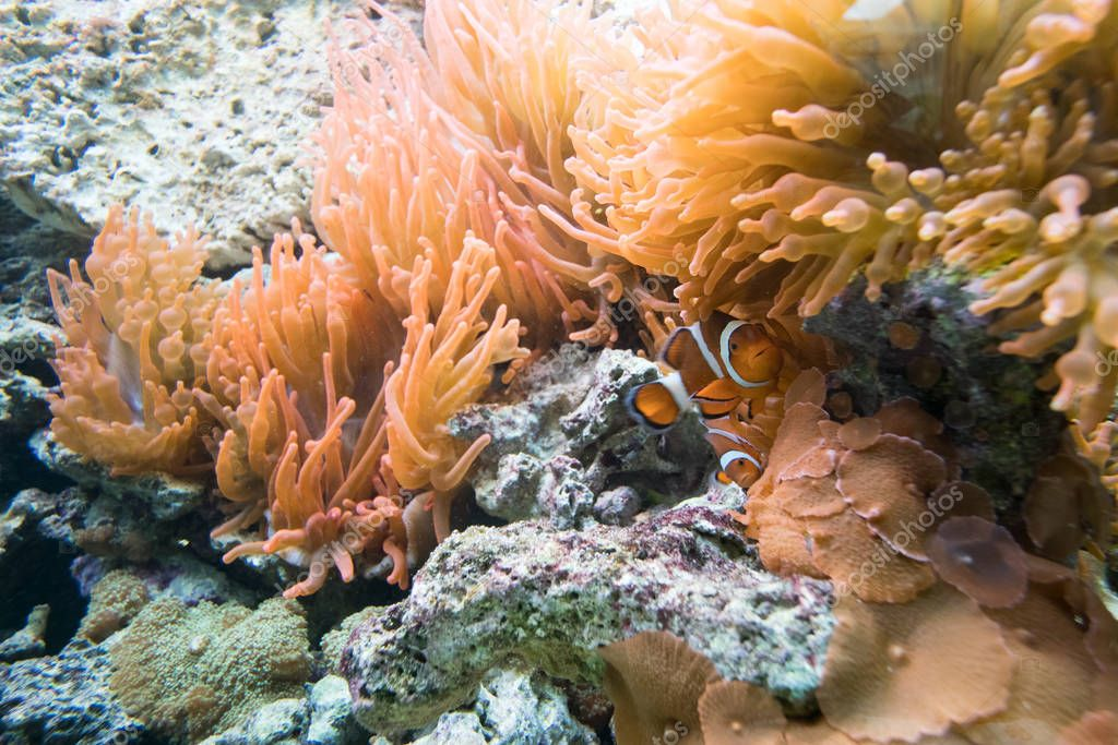 Underwater view of clownfish and anemone
