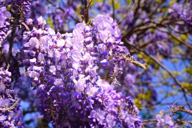 Purple flowers of decorative acacia Robinia hispida plant on the spring morning sunlight