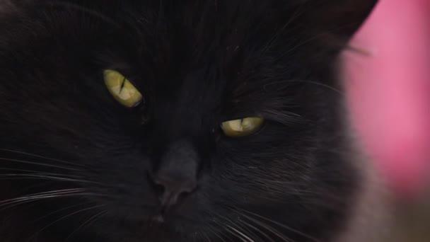 Nadýchaný plnokrevník kočka zírá