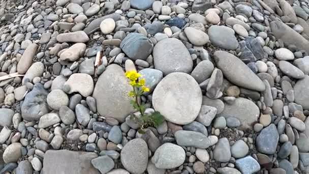 Osamělá rostlina mezi oblázky