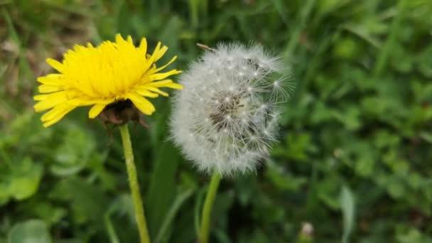 Sárga pitypangok a fű közepén