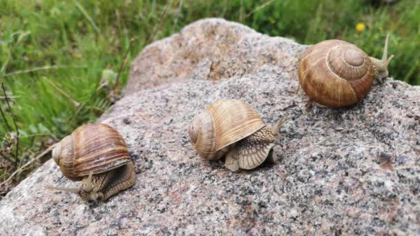 Three huge snails on a texture stone