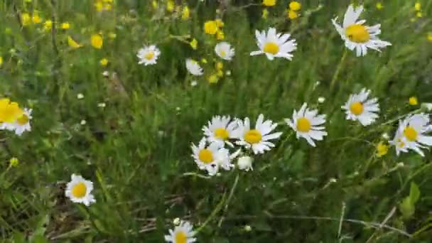 Delicate field daisies in the Carpathians