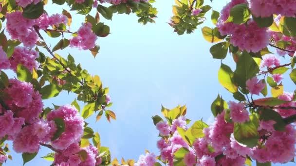 Pink sakura flower, Cherry blossom with blue sky background, cherry blossom swaying in wind close up.