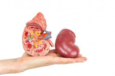 Flat hand showing model human kidney