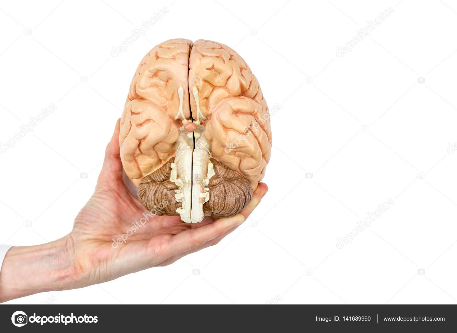 Hand hält Modell menschlichen Gehirns auf weißem Hintergrund ...