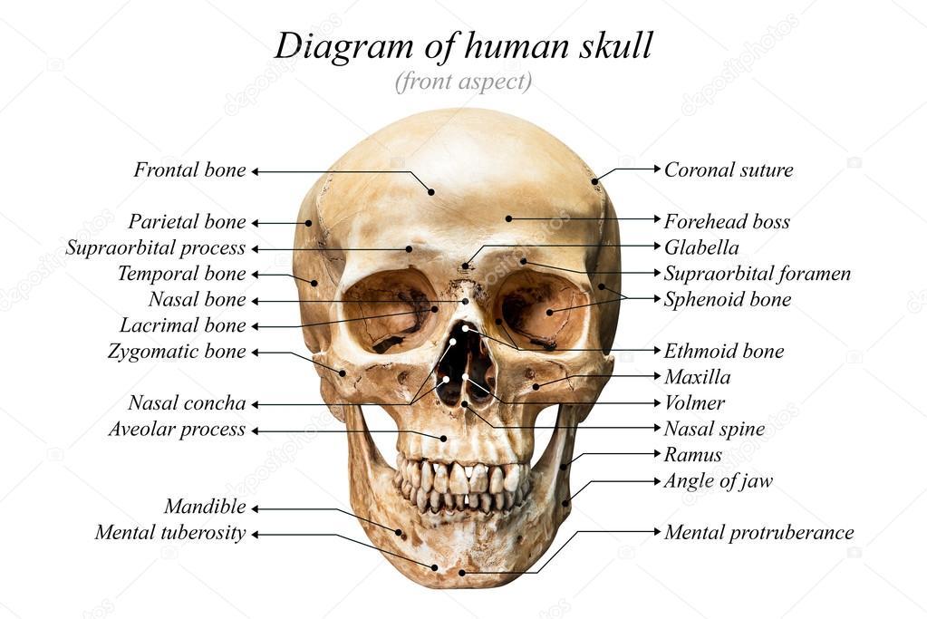 Diagrama del cráneo humano — Fotos de Stock © fotoslaz #128367932