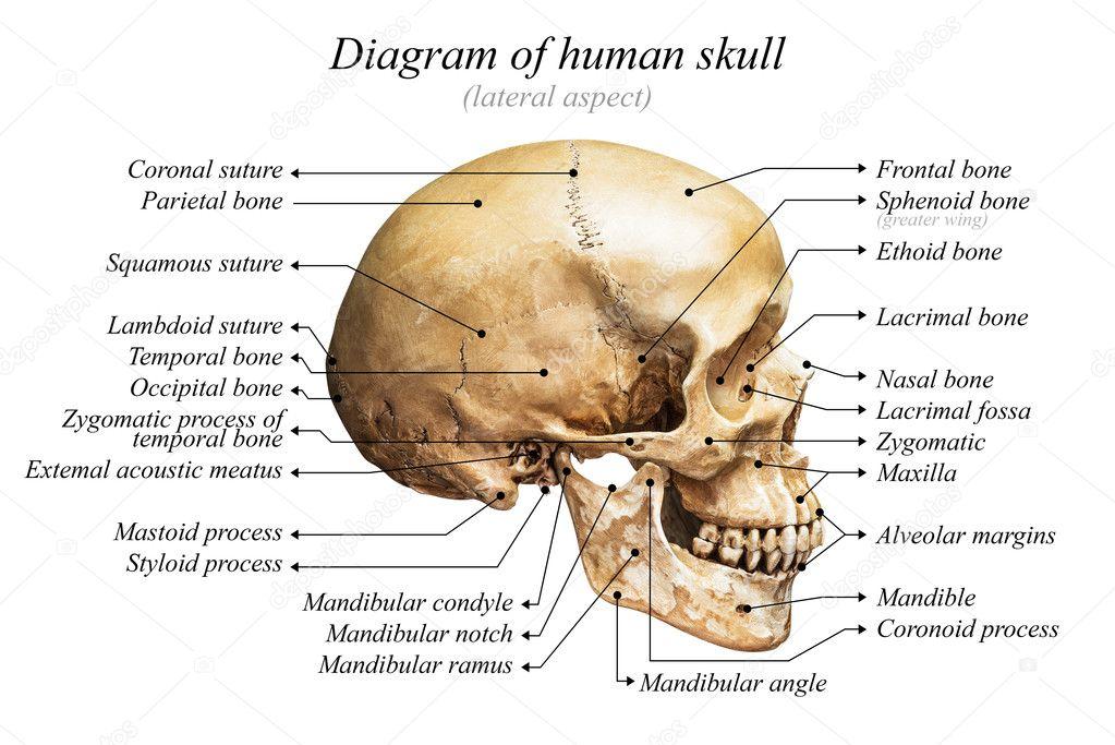 Diagrama del cráneo humano — Foto de stock © fotoslaz #128368842