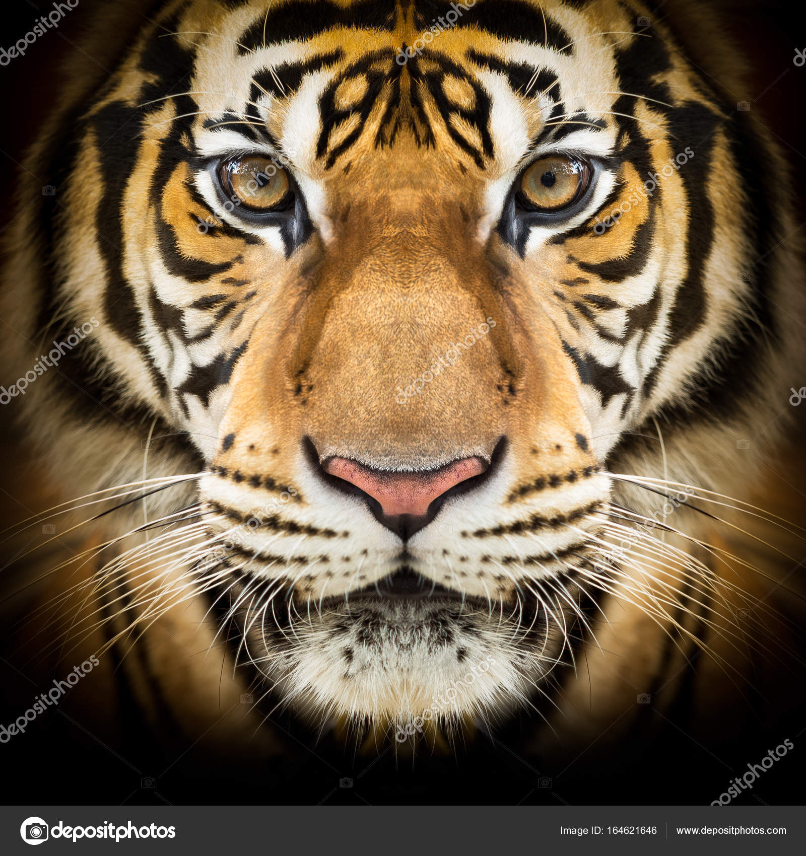 Tiger: Stock Photo © Fotoslaz #164621646