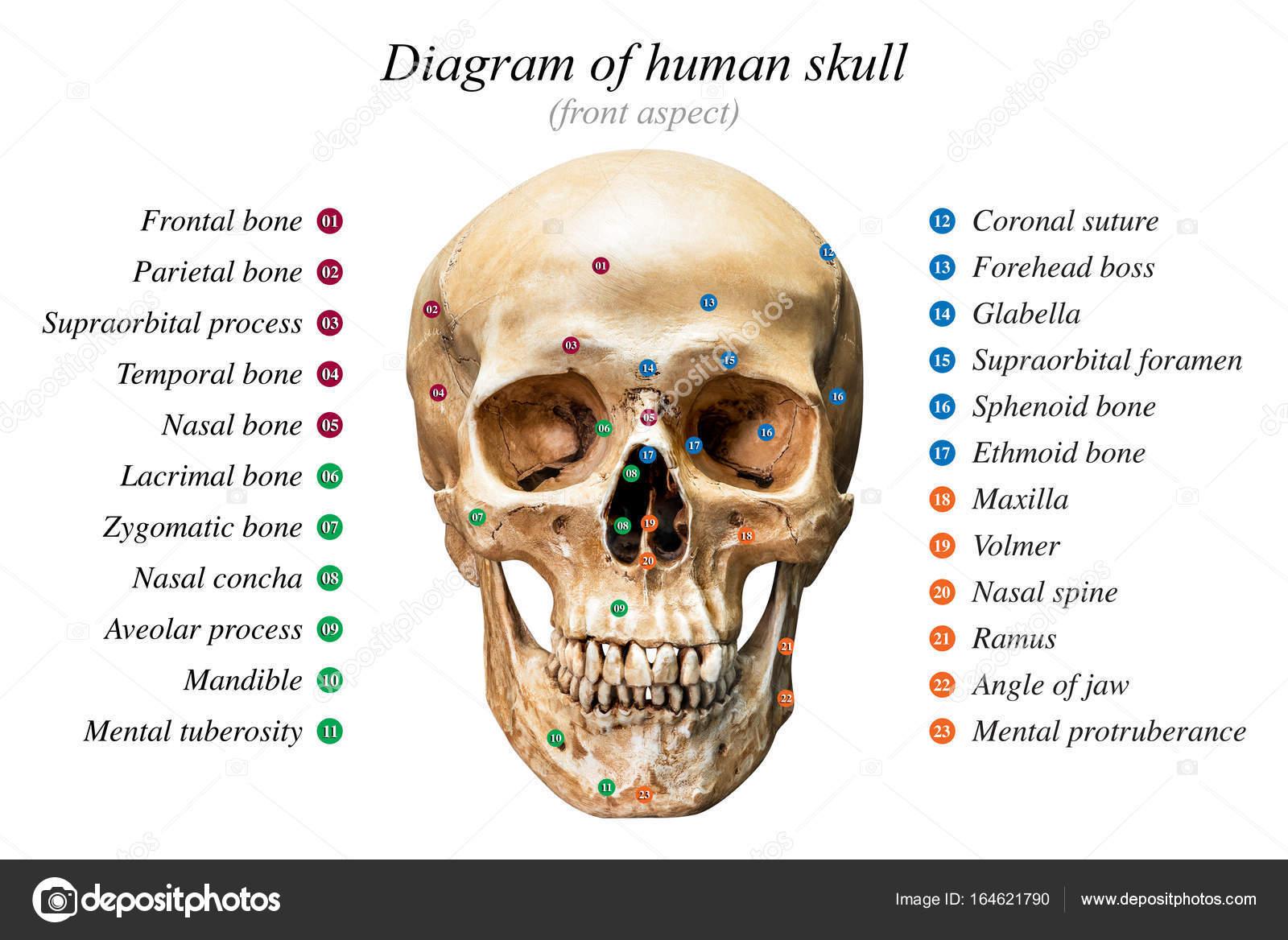 Diagrama del cráneo humano — Foto de stock © fotoslaz #164621790