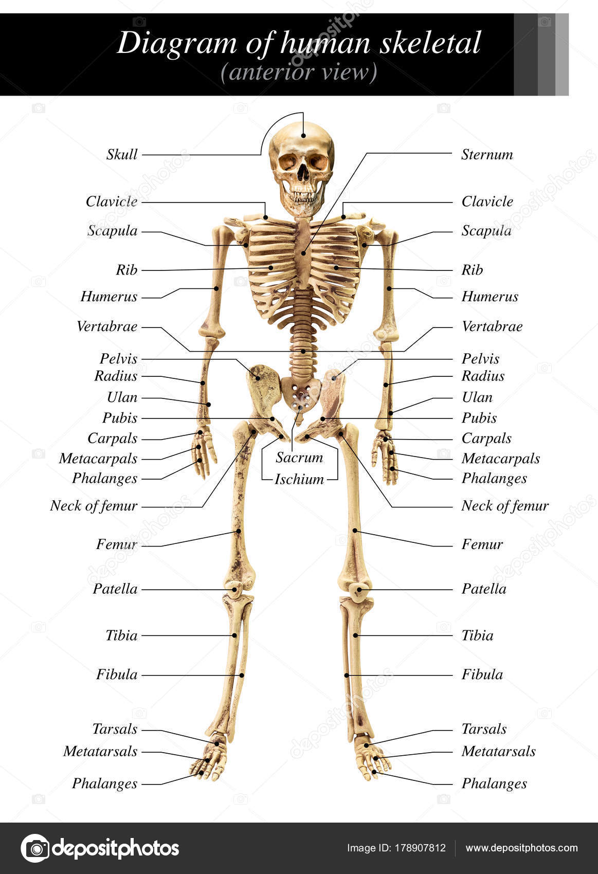 Human Skeleton Diagram Stock Photo Fotoslaz 178907812