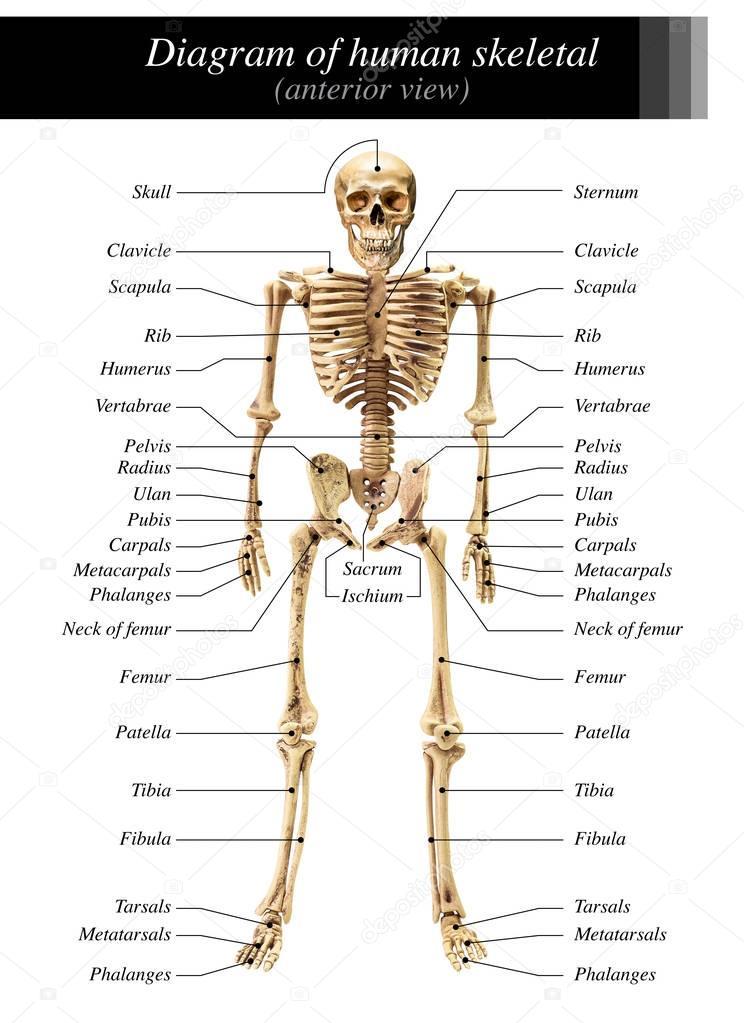 Sch U00e9ma De Squelette Humain  U2014 Photographie Fotoslaz  U00a9  178907812