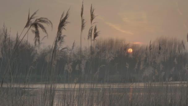 Středně dlouho mělká Hloubka pole sledování snímku plume rákosí na břehu jezera, s zapadajícího slunce lesní stromy v pozadí, pod noční oblohou podzimního soumraku