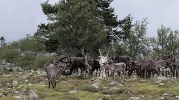 Statické středně široký záběr stáda sobů caribou s velkými parohy pasoucí se poblíž velký strom na linii stromů tundry Skandinávie během zamračený den v létě