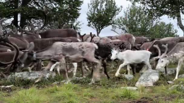 Středně dlouhé sledování snímku stáda sobů caribou na cestách odhalil velký muž s parohy vstávat po ostatní mu prošli