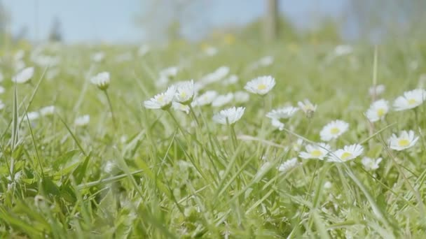 Střední zblízka nízký úhel kapesní malou hloubku pole zpomaleně snímek sedmikrásky květin v travnaté hřiště v parku během slunečného dne na jaře
