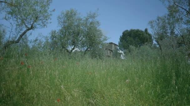 Středně dlouho kapesní nízký úhel vysoké mělké hloubce pole záběru staré italské vily za dlouhá tráva s několika mák trčí v olivové sad během slunný jarní den v Toskánsko Itálie