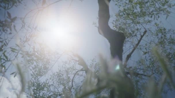 Středně široké kapesní nízký úhel malou hloubku pole zpomaleně snímek slunce svítí za kmen a větve olivového stromu, jak je patrné z trávy na zemi během slunného dne v olivových sadech v Toskánsko Itálie